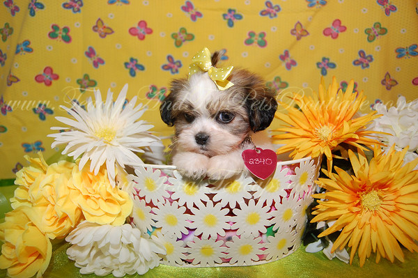 """PUPPY # Daisy 2340 SOLD to Sandra H.her new name is """"COCO"""""""