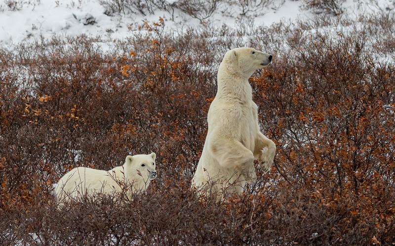 polar bear mom and cub.jpg