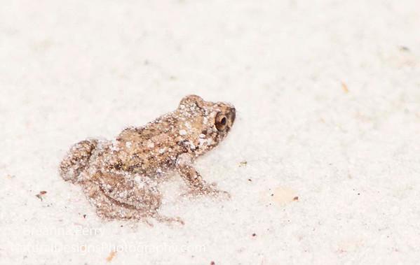 Eastern Cricket Frog (?)