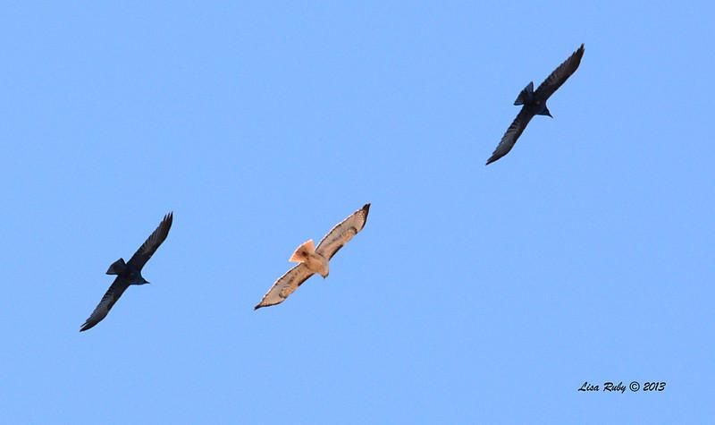 Red-tailed Hawk with escorts - 12/28/13 - Bates Nut Farm; 2013 Escondido CBC