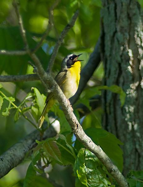 Common Yellowthroat  June