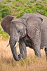 Close up of large elephant with tusks eating tall grass. Photography fine art photo prints print photos photograph photographs image images artwork.