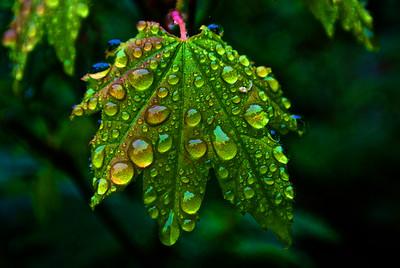 Leaves Ranier