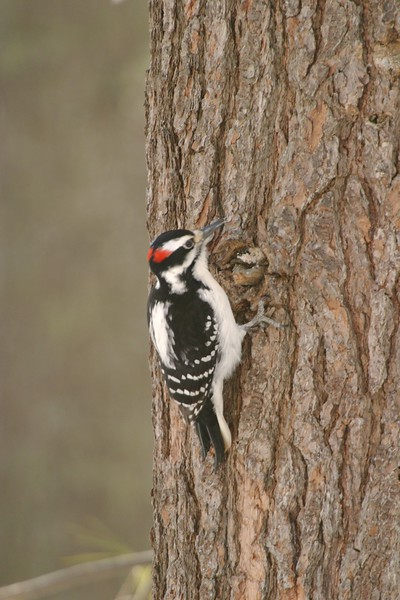 Hairy Woodpecker [March; Carlton County, Minnesota]