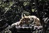 Tijgerwelp | Tigercub [#003]