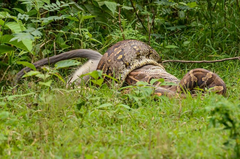 Indian-Rock-Python-Langur-kill-2.jpg