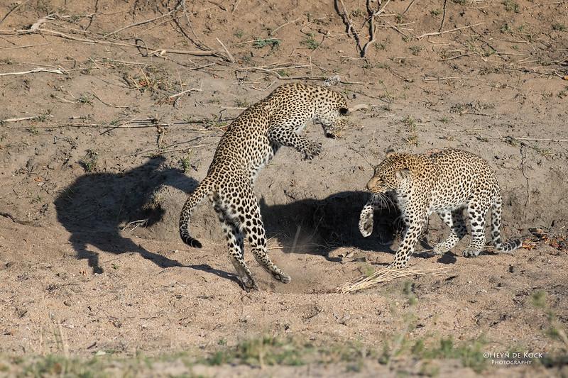Leopard (Salayexe & Tiyane), Sabi Sands (EP), SA, Oct 2016-3.jpg