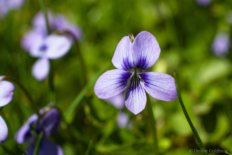 a viola in shades of purple