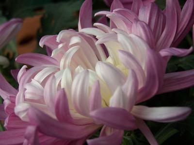 Chrysanthemums and Dahlias