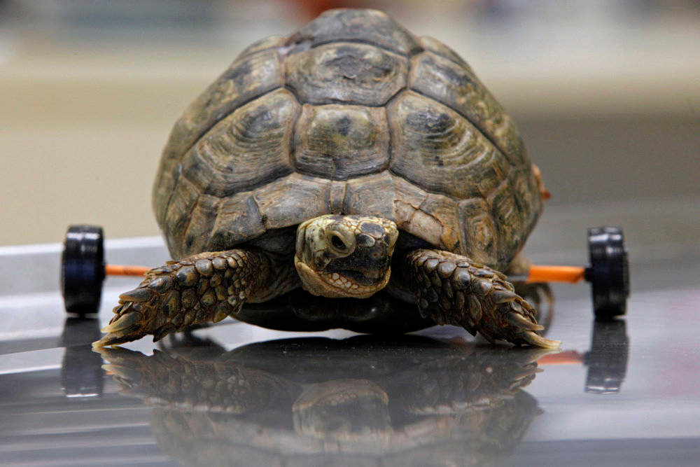 . Tzvika, an injured female turtle, walks with the aid of her newly attached wheels at the Wildlife Hospital in the Ramat Gan Safari near Tel Aviv on January 5, 2011. About two months ago, Tzvika was run over by a lawn mower and suffered severe damage to her shell, and a spinal injury that affected her ability to use her rear limbs. The wheels, attached by veterinarians at the safari, elevate the turtle to keep the shell from being worn down and enable her to walk. REUTERS/Nir Elias