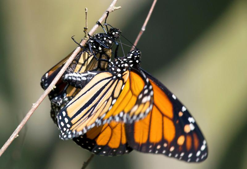 Two Butterflies in flagrante delicto