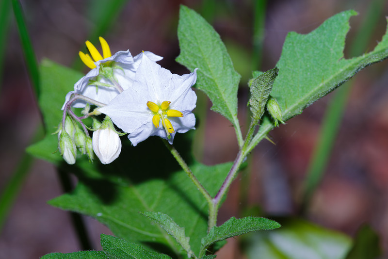 White Silverleaf Nightshade, I Think