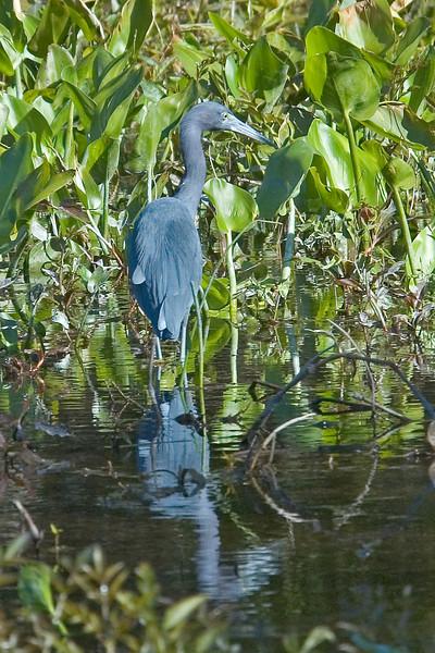 Heron - Little Blue - Wakulla Springs State Park, FL - 01