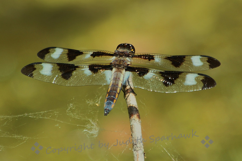 Twelve Spot Skimmer ~ This beautiful large dragonfly was flitting over the pond, lighting on the twigs, vying with others for resting spots above the water.  They did not seem to mind the spider webs on the branches.