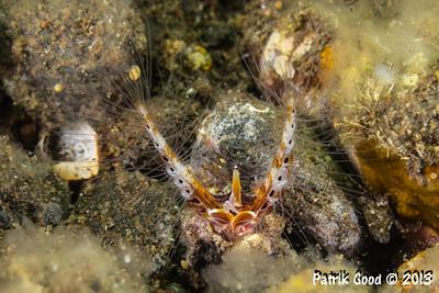 Sabellarid Honeycomb Worm