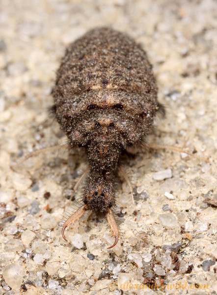 An antlion larva (Myrmeleontidae) removed from its sand pit.