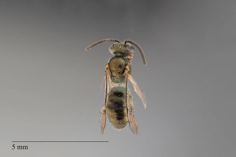 Homalictus taveuni