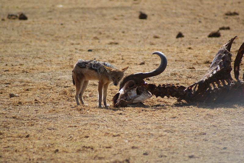 And this jackal claimed what was left.
