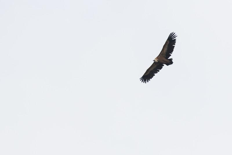 but de st genix, vale gier, griffon vulture