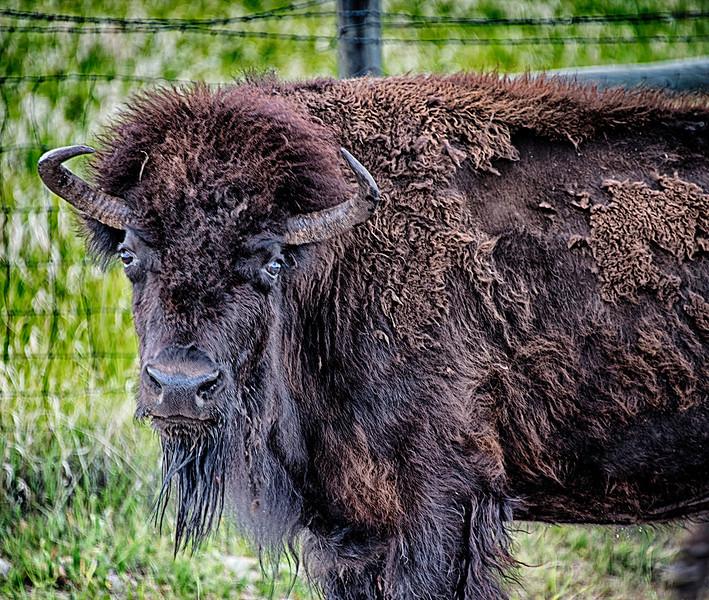 1 bison.jpg