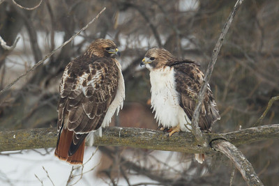 A Pair of Red-tailed Hawks