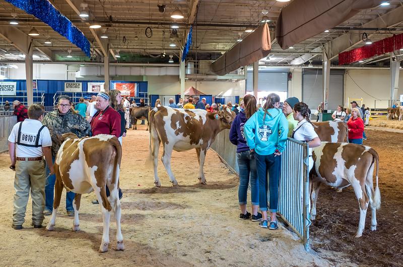 Cows at NC State Fair 2016