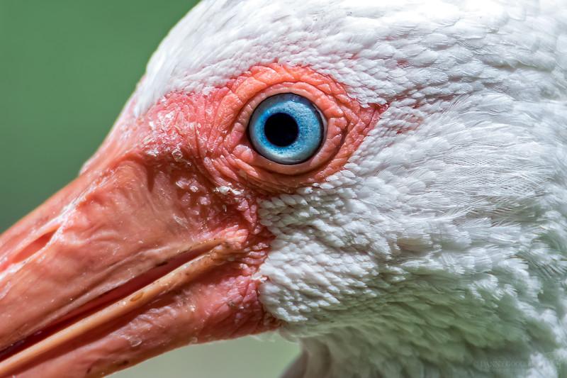 White ibis eye