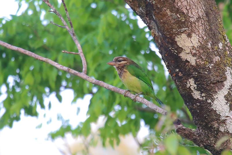 White-cheeked Barbet (Psilopogon viridis)