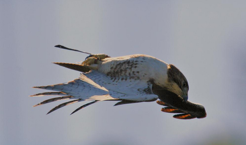 Red-tailed Hawk flying inverted.