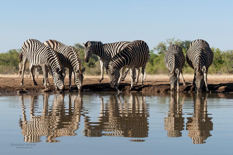 Burchell's Zebra, Mashatu GR, Botswana, May 2017-4.jpg