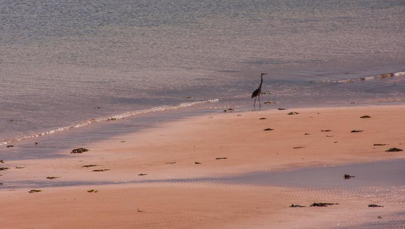 Heron, Panmure Island Beach