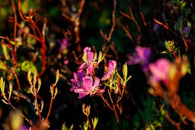 Acadia Flora
