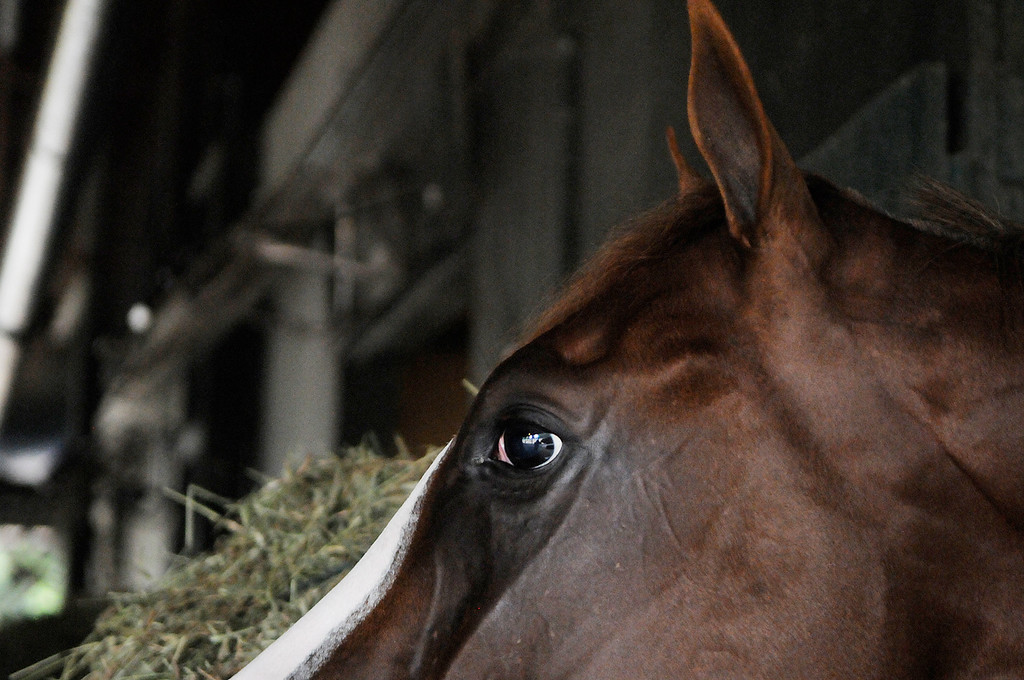 . On the Oklahoma Training Track, Will Take Charge in his stall at D. Wayne Lucas\'s barn. Set to run in the Travers this Saturday at the Saratoga Race Course.Photo Erica Miller/The Saratogian 8/20/13 WillTakeCharge2