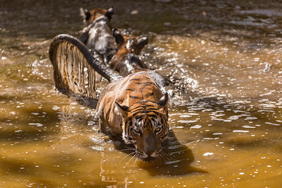 Tigress guarding her two cubs