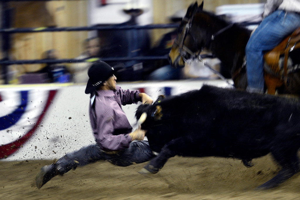 . DENVER, CO. - JANUARY 21:  Chase Crane tries to wrestle his steer to the ground during the steer wrestling performance at the National Western Stock Show Martin Luther King Heritage Rodeo January 21, 2013 (Photo By AAron Ontiveroz / The Denver Post)