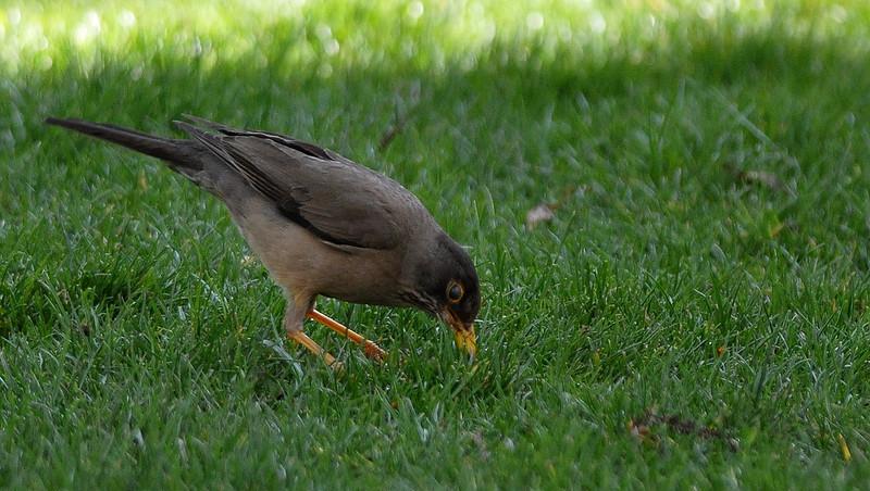 ub austral thrush pecking DSC_2510.jpg