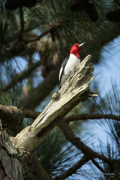 Woodpecker_Backyard_664A7137.jpg