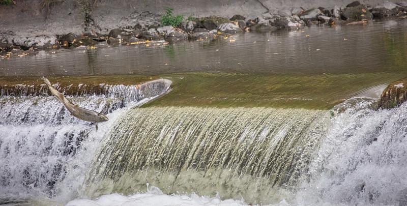 salmon upstream (8 of 48).jpg