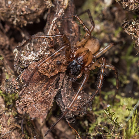 Unidentified Agelenidae