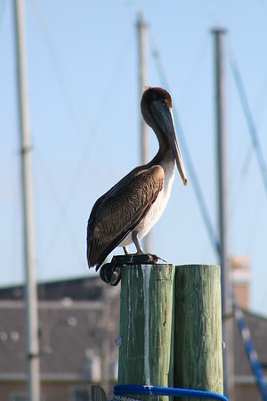 Florida Brown Pelican Clearwater Beach