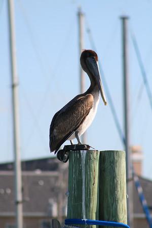 Florida Brown Pelican Clearwater Beach