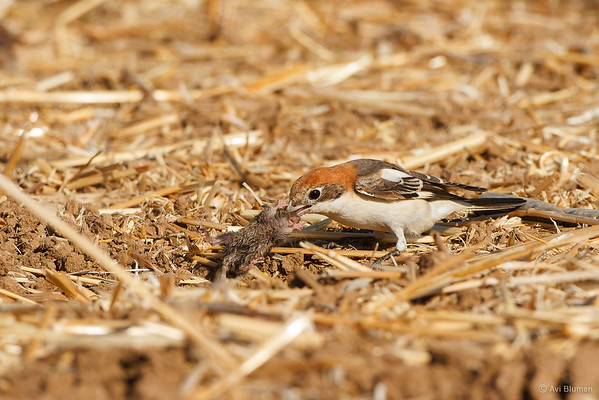 Woodchat shrike & prey חנקן אדום ראש וטרפו