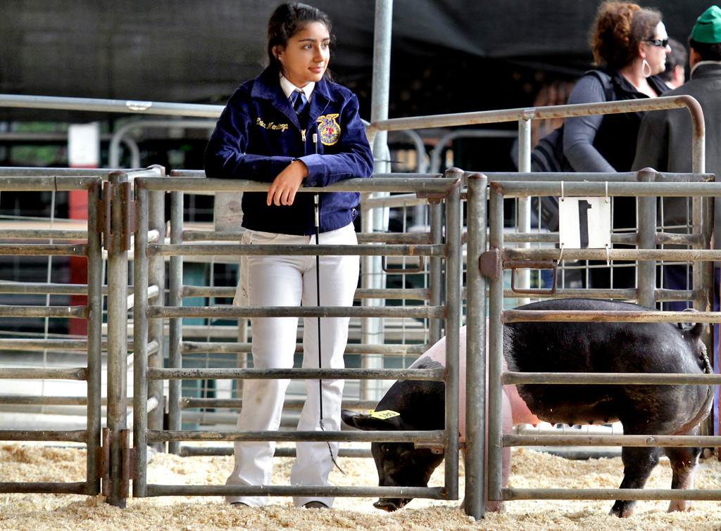 . Future Farmer of America Erica Mendoza waits with her pig Bentley to compete in the first class market hogs show at the County Fair\'s Livestock Arena Wednesday. (Shmuel Thaler/Sentinel)