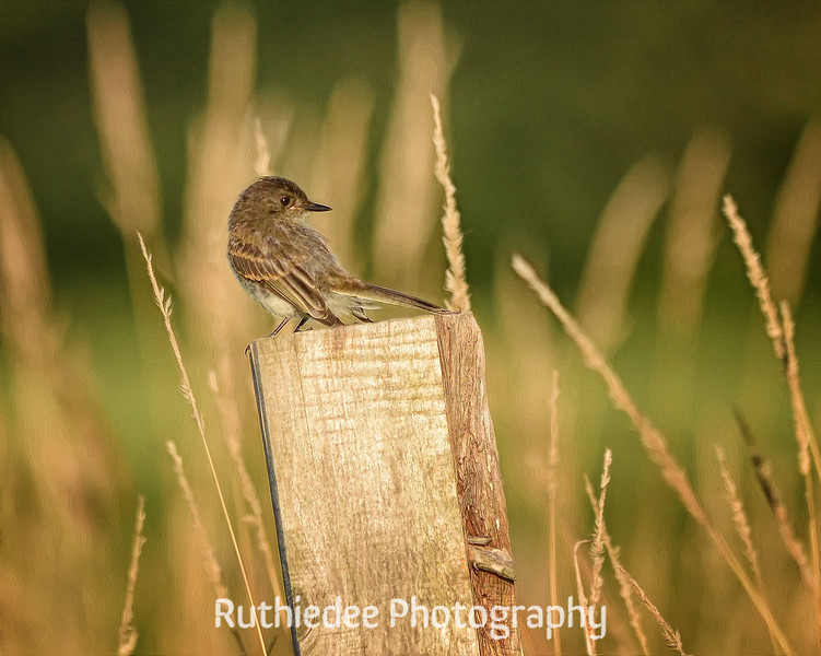 Watchful Sparrow