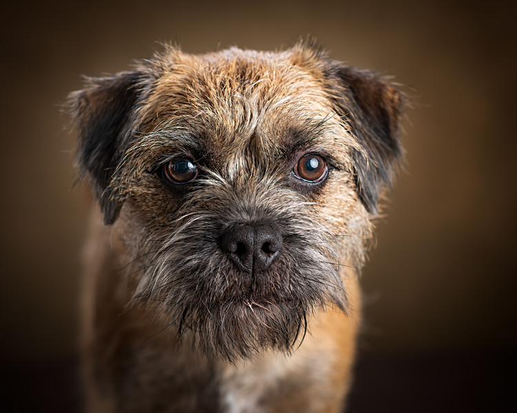 128603-Indie-the-Border-Terrier.jpg