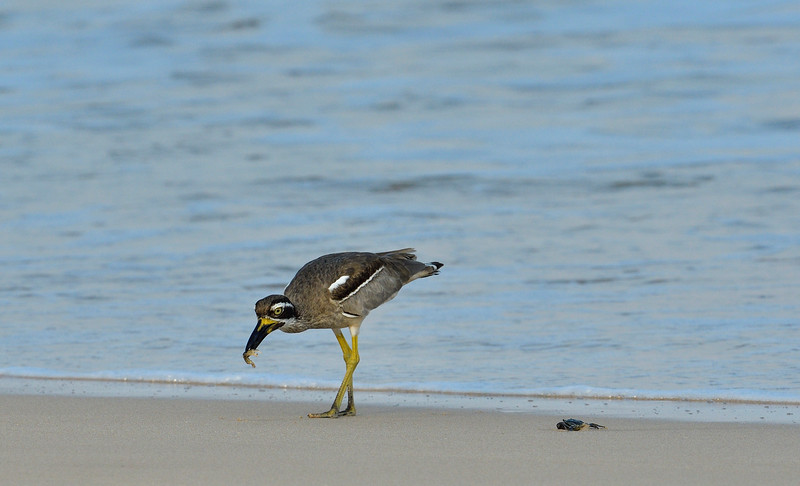 Beach-Thick-knee-with-crab-little-andaman-5.jpg