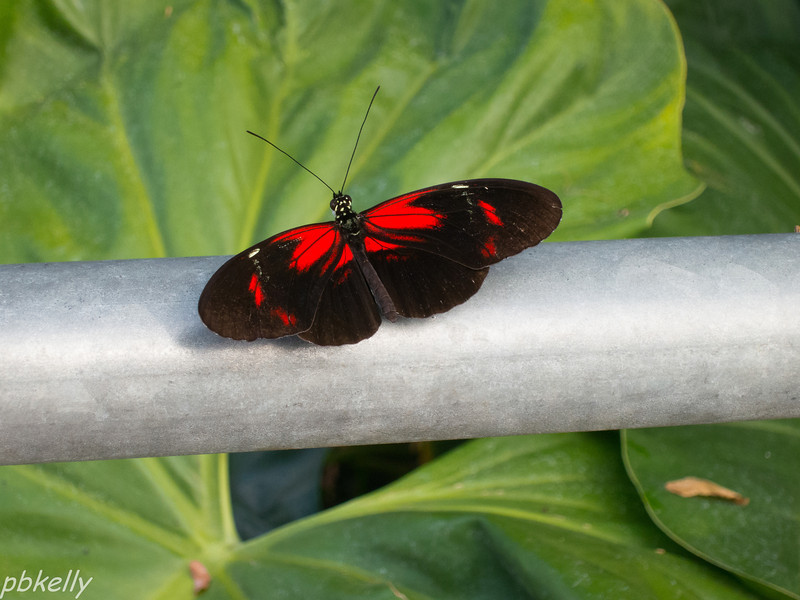 11-17.  CBG.  Butterflies flitting around in the glass house when it's cold out are always relaxing.