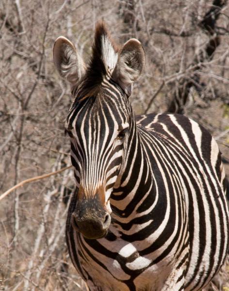zebra (1).jpg