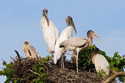 Sept. 12, 2010 - Wood Storks at Gatorland