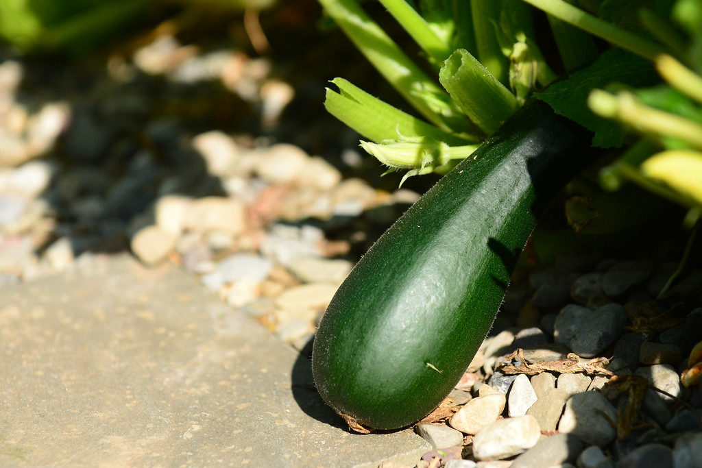 . PHOTO PETE BANNAN- More than just flowers grow in the backyard of Terry Spadoni\'s West Chester row home including this zuchini.
